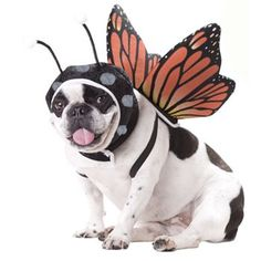 Butterfly Costume - Pet #Halloween #budgettravel #travel #halloween #DIY  #pumpkin www.budgettravel.com