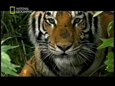 ▶ The Last Maneater (Killer Tigers of India) - YouTube