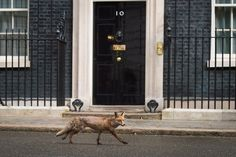 A fox runs past the front door of 10 Downing Street in central London on May 6, 2015, on the eve of a general election in Britain. Britain's political leaders launched their last day of campaigning Wednesday for the most unpredictable election in living memory which could yield no clear winner and weeks of haggling over the next government. - Pictures Of The Year: 100 Incredible Images From 2015
