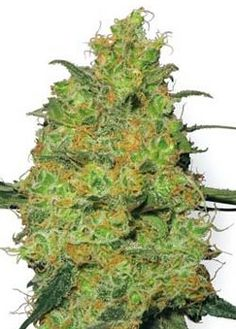 Master Kush Sensi Seeds Master Kush is a hybrid from the pure and potent Indica strains that where carefully brought back for the Hindi-Kush region – famed for its amazing hashish production and mind-blowing marijuana.