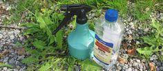 VI TESTER HJEMMESNEKRA UGRESSMIDDEL: Eddikvann mot ugress funker som bare det. (Foto: KRISTIN SØRDAL)