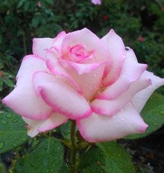 Beautiful Roses, Beautiful Flowers, Pink Roses, Pink Flowers, Vintage Romance, Cool Plants, Herb Garden, Gardening Tips, Mother Nature