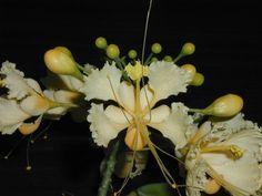 Caesalpinia pulcherrima, pale yellow variety
