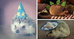15 Hedgehogs That Are Ready for a Costume Party - Wide Open Pets http://www.wideopenpets.com/15-hedgehogs-that-are-ready-for-a-costume-party/