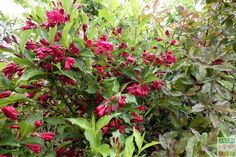 Très discrets le reste de l'année, les weigelias commencent à fleurir en ce moment au #jardin: la variété Red Prince offre des fleurs bien rouges ponctuées d'un pistil blanc. Les grandes feuilles, d'un vert franc, apportent le contraste nécessaire pour mettre en valeur la floraison.
