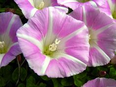 Unusual shade for Morning Glory