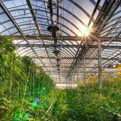 Em Montreal, fazendas são cultivadas no topo de telhados. A estratégia humaniza a agricultura ao oferecer produtos locais, recém-colhidos, aos consumidores urbanos. #ambiente #economia