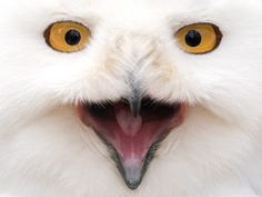 A snowy owl looking at the camera in the animal park in Neumuenster, German