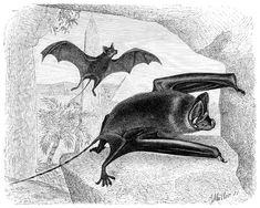 Mouse-tailed bat - Wikipedia