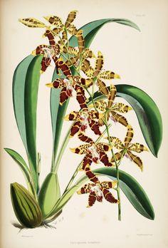 "Orchid from ""A monograph of Odontoglossum"". James Bateman, 1874."