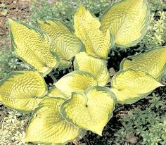 'INNISWOOD' Hosta