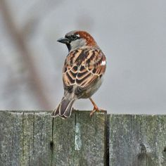 House Sparrow -- February 2, 2013; Twin Falls, Idaho