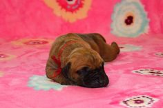 """Miss Red / 5 days old Litter """"B"""" Happy Chilli Dogs Abby Happy Chilli Dogs x Lucas Big Lord www.happychillidogs.cz"""