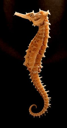 """the male seahorse is the one who gets pregnant"" @Angelica Suarez Anderson"