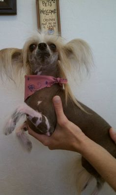 Pixie the Chinese Crested