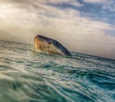 Swim in shark infested waters. don't wanna see this. The Great White, Great White Shark, Orcas, Cthulhu, Shark In The Ocean, Shark Photos, Shark Pics, Save The Sharks, Types Of Sharks