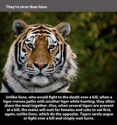 tigers are nicer than lions