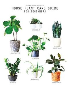 Plant Care Guide for Beginners   fiddle leaf fig, snake plant, monsters, ZZ plant, spider plant, rubber plant care