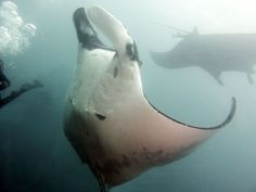 2 Mantas! And there were many more!