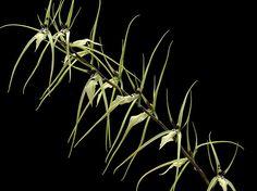 Brassia Orchid; Brassia arcuigera Rchb.f. (1869) by Quimbaya, via Flickr