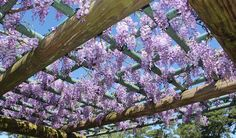 Japanese Wisteria, Hermann Park, Houston