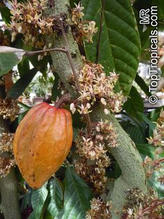 Chocolate Tree, Cacao Chocolate, Chocolate Dreams, Exotic Fruit, Exotic Plants, Agriculture, Farming, Dragon Blood Tree, Garden Catalogs