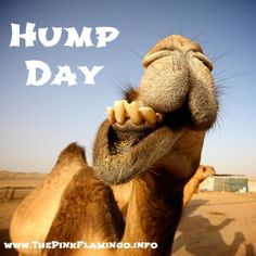 Happy Hump Day :)  #humpday #camel