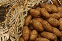 """Potato Varieties for vertical growing—only """"indeterminate"""" types will set new roots and potatoes and keep growing up as soil is added on top. Planting Seed Potatoes, Potato Gardening, Organic Gardening, Vegetable Gardening, Container Gardening, Root Vegetables, Organic Vegetables, Growing Sweet Potatoes, Grow Potatoes"""