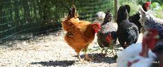 Non fare il pollo: conosci le tue galline!