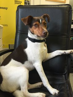 """tressed?? Deadline??  """"Studies show that Dogs help humans reduce stress. Playing with or petting an animal can increase levels of the stress-reducing hormone oxytocin and decrease production of the stress hormone cortisol.""""  JACK the Kennys Bindery Mutt is here to help Pop in and say Hi! (He's here most days) Cortisol, Reduce Stress, Say Hi, Boston Terrier, Pitbulls, Adoption, Pop, Animals, Foster Care Adoption"""
