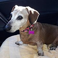 Adopt Dutch On Cindy S Stuff Adoptable Dachshund Dog