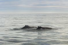 of-the-pacific-ocean-whales-and-their-enemies-08