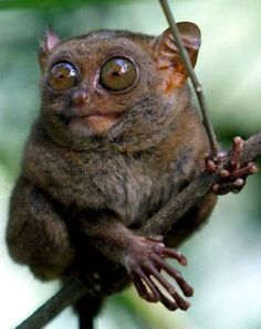 Mouse Lemur from Madagascar