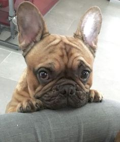 """Hey, you're gonna give me whatever I want, K?"", French Bulldog ❤"