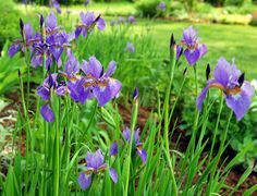 When growing Siberian iris, gardens will burst with early season color and intricate, frilly flowers. Use these beautiful plants as a background border for other early spring bloomers. Find more info in this article.