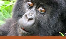 Help save the Gorillas! Fewer than 800 mountain gorillas remain. http://www.gorillafund.org/