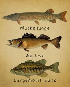 SALE--Ships on Oct Fish Poster - Fish Print Muskellunge Muskie Walleye Bass Freshwater Fishing Walleye Fishing Lures, Fishing Bait, Fishing Humor, Fishing Gifts, Saltwater Fishing, Carp Fishing, Fishing Tackle, Fishing Quotes, Fishing Rods