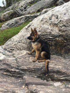 German Shepherd Puppies, German Shepherds, Most Beautiful Dogs, Schaefer, Herding Dogs, Gsd Puppies, Belgian Malinois, Service Dogs, Nature Animals