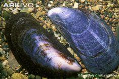 Common mussel photo - Mytilus edulis - image-A7065