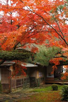 Red leaves in Kunen-an (Japan Traditional Folk Houses) in Saga, Japan