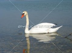 Mute swan swims on a blue lake * All You Can Stock Mute Swan, Swimming, Blue, White Swan, Swim