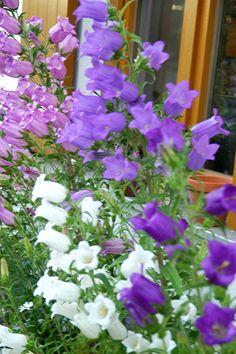 Marienglockenblumen
