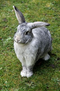 Freeze! There's a cat in the garden. Paco the Flemish Giant Chinchilla
