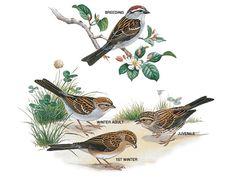 Illustration: Chipping sparrow