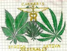 Different Types Of Marijuana Seeds : The Marijuana Seeds (marihuana in Mexican) have been used for the purpose of pain relief and entertainment since ages. Several countries had laid restrictions on the use of marijuana considering the addictive characteristics of this drug. However, realizing the medical benefits, many countries as well as several states of USA have lifted these restrictions.