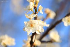 Leicht frostige Schlehenblüte - März 2016
