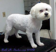 Prince (Bichon)After a Pet Style http://www.gooddogsspaandstudio.com