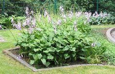Japaninkuunlilja - Hosta lancifolia Hostas, Plants