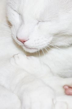 White cats are angels on earth. Pretty Cats, Beautiful Cats, Animals Beautiful, Cute Animals, Pretty Kitty, White Kittens, Cats And Kittens, Ragdoll Kittens, Winged Liner