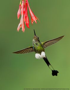 "Booted Racket-tail Hummingbird.  Photo by: David Hemmings on Flickr. ""Hummingbirds"""